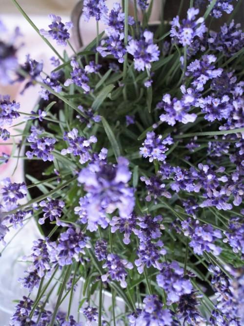 03_Lavendelsirup